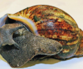 Giant African snails seized at Los Angeles airport